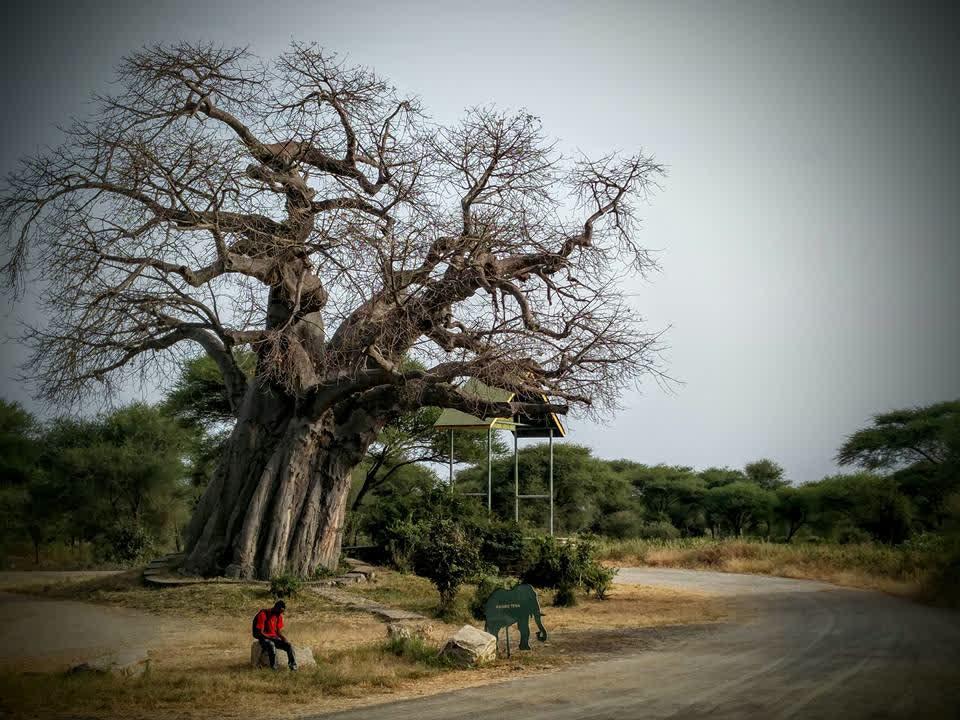 अफ्रीका से आया – बाओबाब का पेड़