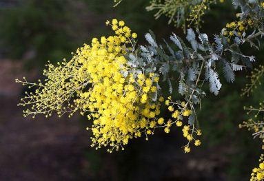 Acacia dealbata (mimosa flowers)