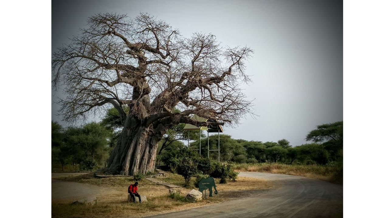 Baobab Tree: A Friend of Archaeologists