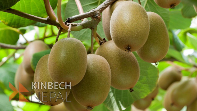 Kiwi Fruit For Sale | www.kinbechnepal.com