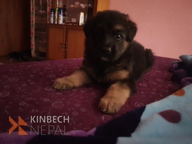 German shepherd puppies on sale | www.kinbechnepal.com