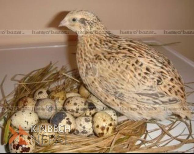 Battai egg | www.kinbechnepal.com