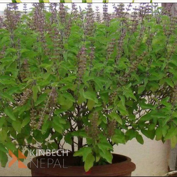 Tulsi Dry Leaves | www.kinbechnepal.com