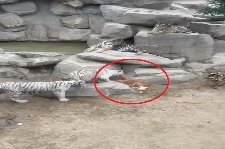 बाघों के बाड़े में दाखिल हो गया डॉगी, सामने एक साथ 5 बाघ आने के बाद भी नहीं भागा.. वीडियो वायरल