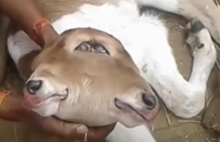 दो सिर और आंखें तीन.. गाय ने अनोखे बछड़े को दिया जन्म, देखने उमड़ रही लोगों की भीड़