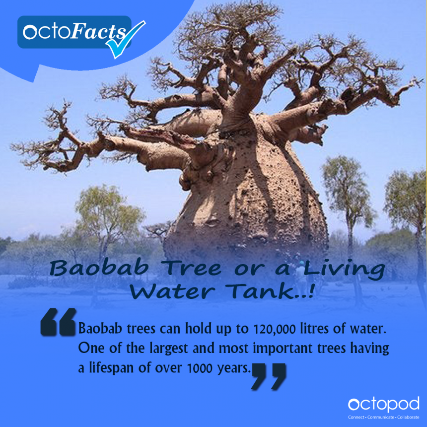 Baobab - Tree or a Living Water Tank..!
