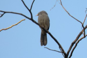 Jungle-babbler