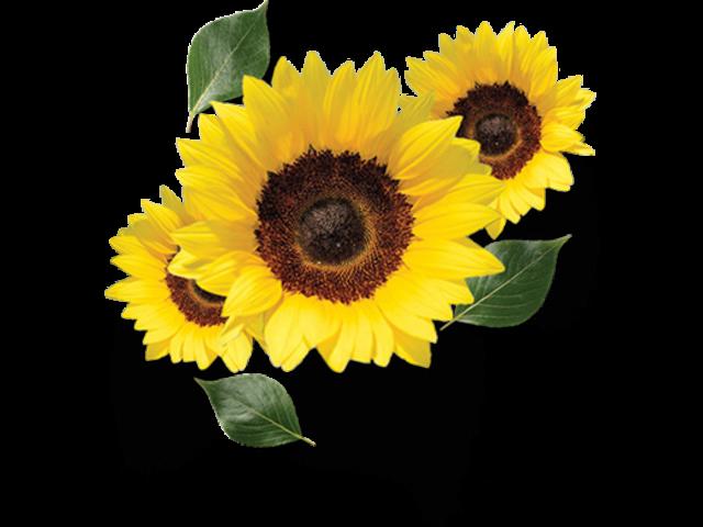 Sunflower Oil - Best Organic Sunflower Oil In India At Gulaboils - 2/2