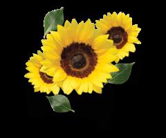 Sunflower Oil - Best Organic Sunflower Oil In India At Gulaboils - Image 2/2
