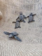 /Velas Turtle Festival Olive Ridley Sea Turtle Maharashtra The Great Next