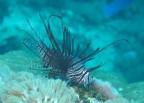 http://m.thegreatnext.com/Scuba Diving Bali Marine Life Underwater Corals Sea Creatures PADI AOWD Indonesia Adventure Travel The Great Next