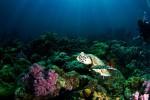 http://m.thegreatnext.com/Scuba Diving Whaleshark Thailand Koh Phangan Tao Ma Marine Life Underwater Corals Sea Creatures  Indonesia Adventure Travel The Great Next