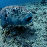 http://m.thegreatnext.com/Discover Scuba Diving Phuket Corals Fish PADI Advanced Open Water Diver Course Whaleshark Thailand Marine Life Underwater Sea Creatures Adventure Travel The Great Next