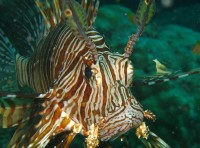 /Scuba Diving Andamans Neil Island Sea Turtle Fish The Great Next
