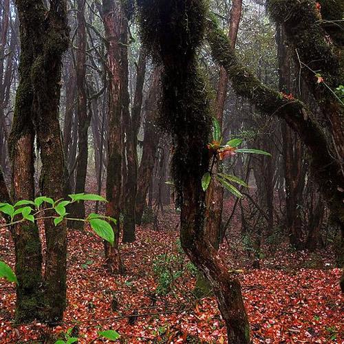 Barsey Rhodedendron trek