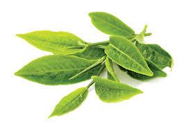 Chaay Kee Pattiyaan - 1 Bunch (चाय की पत्तियां - ચા પાંદડા - Tea Leaves)