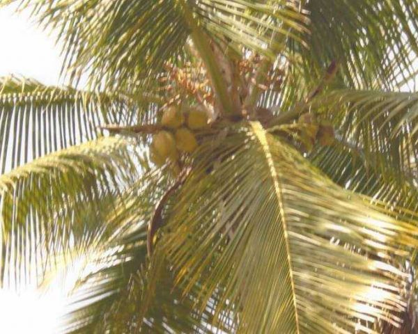 5 Acres Coconut Farm Land Available In Agriculture Land for