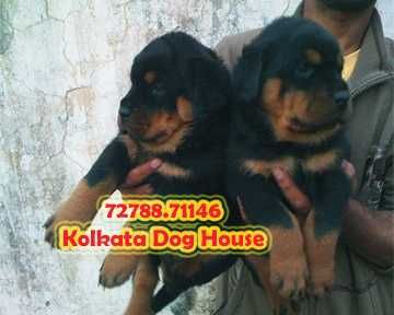 Excellent SAINT BERNARD Dogs For Sale KOLKATA DOG HOUSE
