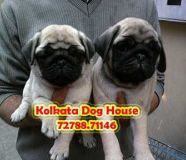 Cute And Healthy PUG Dogs ready to sale KOLKATA DOG...