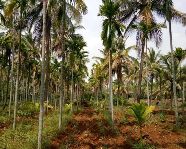 5 5 Acre Coconut Arecanut Land Agriculture Land for Sale