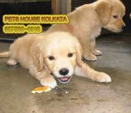 Great Liter Of GOLDEN RETRIEVER Dogs for sale at...