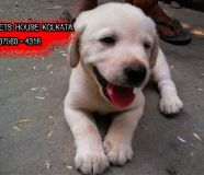 LABRADOR Dog puppies for sale at ASANSOL