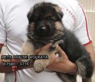 Show Specimen Top GERMAN SHEPHERD Dogs for sale at...