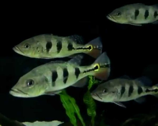Peacock Bass 7 To 8 Inches Fish For Sale At Decoratives