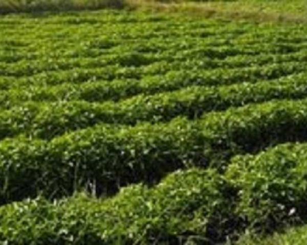 Highly Fertile Farm Land For Sale In Yavatmal District Of