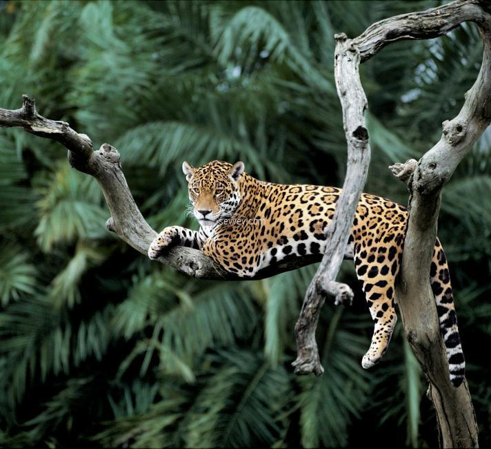 jaquar-animal wild-animals