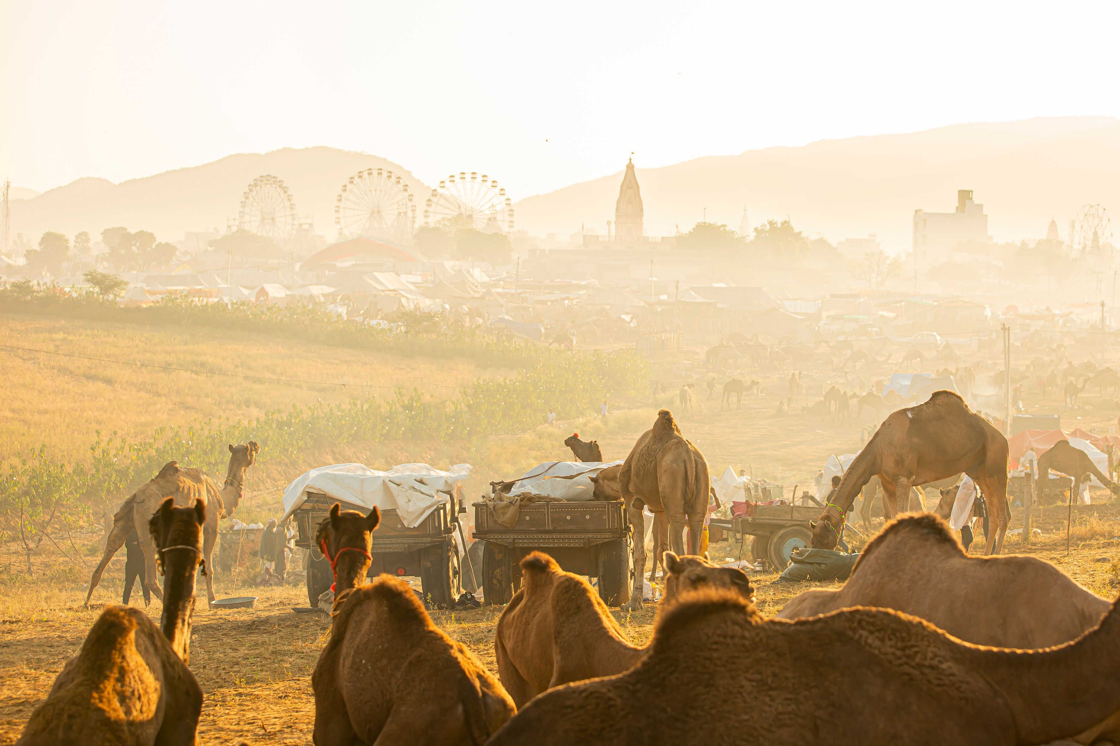 Pushkar Mela, Pushkar Camel Fair