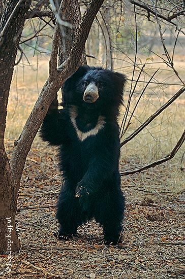 Sloth-Bear---Ranthambhor-Na