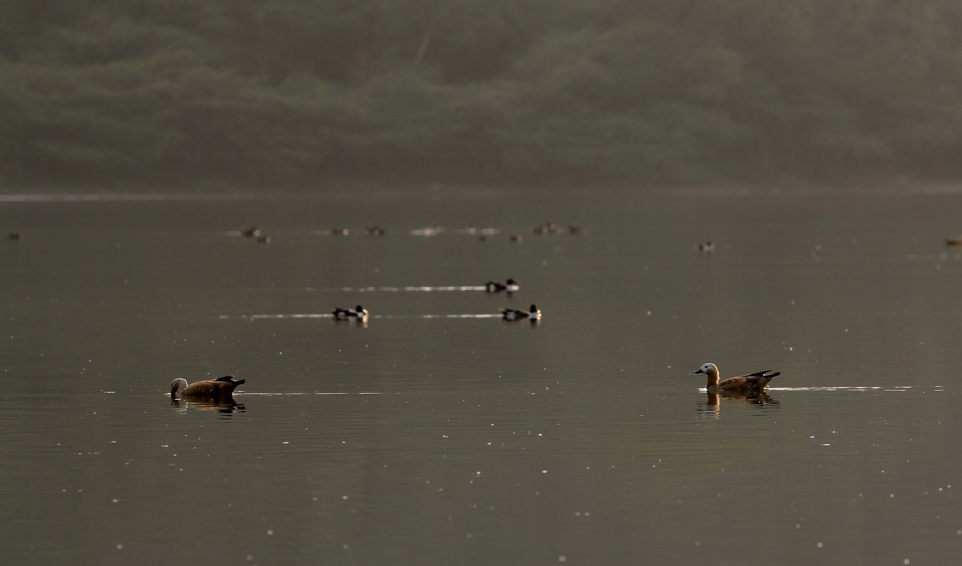 a-pair-of-brahminy-ducks-in-the-lonar-lake-by-adityavikram-more