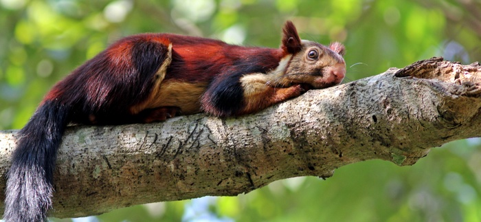 malabar-giant-squirrel